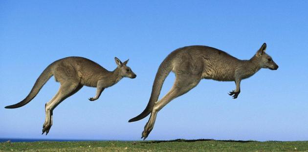 Hopping-Kangaroos.jpg